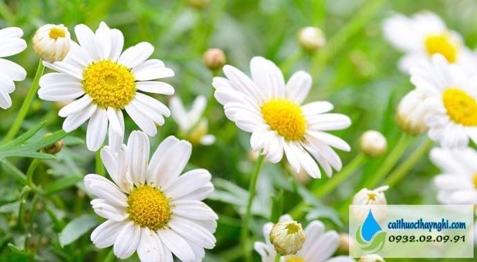 cúc hoa hỗ trợ bỏ thuôc lá